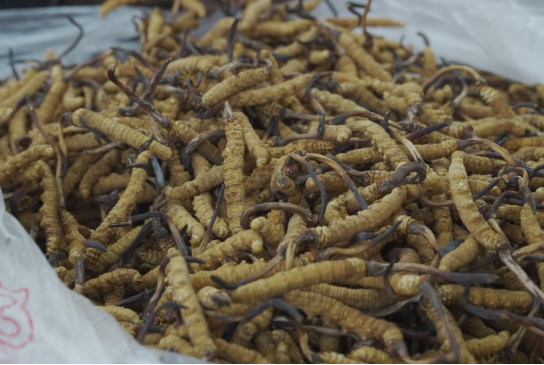 5分钟,教你轻松辨别人工虫草和野生虫草!